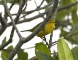 Yellow Warbler_DSC9193-800.jpg