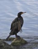 Double-Crested Cormorant_DSC9447-800.jpg