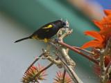 Black-cowled Oriole_DSC9257-800.jpg