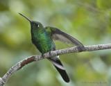 Emerald Hummingbird_DSC9250-800.jpg
