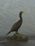 Double-Crested Cormorant_DSC9448-800.jpg