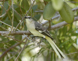 Northern Mocking Bird_DSC8859-800.jpg