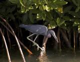Little Blue Heron_DSC9770-2-800.jpg