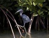Little Blue Heron_DSC9782-800.jpg