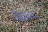 Ground Dove_DSC8940-800.jpg