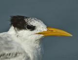 Royal Tern_DSC9461-800.jpg