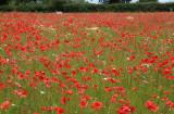 Poppyfields forever