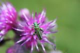 Click beetle.