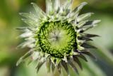 Echinacea in bud