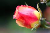 Raindrop on roses