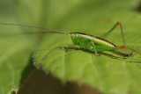 Short winged conehead cricket.