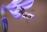 Hover on a Agapanthus
