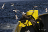 Ostend pelagic trip in maart