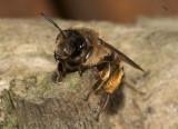 vrouwtje Grasbij - Andrena flavipes