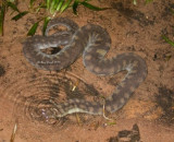 Snakes of Australia (Acrochordidae)