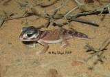 Nephrurus levis occidentalis