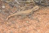 Ctenophorus cristatus