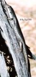 Egernia striolata