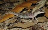 Diplodactylus polyopthalmus
