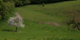 Normandie, les pommiers en fleurs
