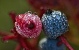 Dew on the Berries