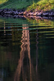 Gull River Reflection