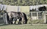 Horses and Laundry