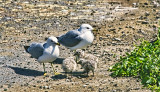 Gulls and Chicks