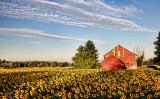 Sunflowers and Red Barn