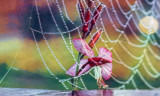 Flower, Web and Dew