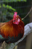 Fancy Chicken