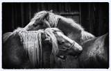 Horses BW