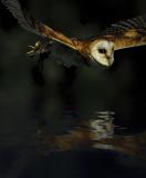 Owl Reflection