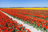IMG_6055.jpg Field of tulips - Saint-Jean-Trolimon Brittany France - © A Santillo 2014