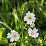 IMG_6080.jpg Greater Stitchwort - Stellaria Holostea - Plomelin Brittany France - © A Santillo 2014