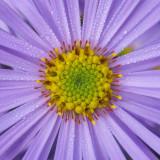 G10_0382A.jpg Aster - Bodnant Garden, Eglwysbach, Conwy, Wales - © A Santillo 2009