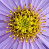 G10_0383A.jpg Aster - Bodnant Garden, Eglwysbach, Conwy, Wales - © A Santillo 2009