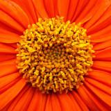 G10_0387A-7in-x-7in-300dpi.jpg Dahlia - Bodnant Garden, Eglwysbach, Conwy, Wales - © A Santillo 2009