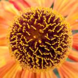 G10_0397.jpg Echinacea - Bodnant Garden, Eglwysbach, Conwy, Wales - © A Santillo 2009