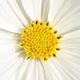 _MG_1966A.jpg Osteospermum or Cape Daisy - Coleton Fishacre - © A Santillo 2007