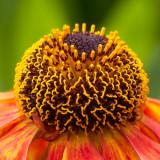 IMG_3616a.jpg Echinacea - The Garden House - © A Santillo 2011