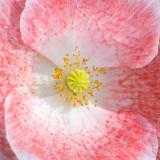 IMG_4557.jpg Poppy 'Papaver' - The Garden House - © A Santillo 2013