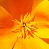 _MG_1750A.jpg Californian Poppy 'papaver' Eschscholzia Californica - The Garden House - © A Santillo 2007