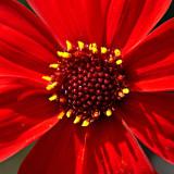 _MG_1780.jpg Dahlia 'Bishop Llandaff' - The Garden House - © A Santillo 2007