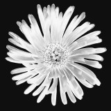 CRW_01688b&w3.jpg Mesembryanthemum - © A Santillo 2004