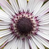 IMG_7460.jpg Unknown flower - The Garden House - © A Santillo 2017