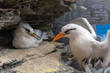 White-tailed Tropicbirds or Longtails - Bermuda Aqaurium, Museum and Zoo