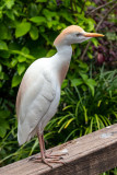 Cattle Egret - Bermuda Aquarium, Museum and Zoo