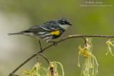 Yellow-rumped warbler alert