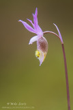 Calypso Orchid (Calypso bulbosa) aka... Fairy Slipper